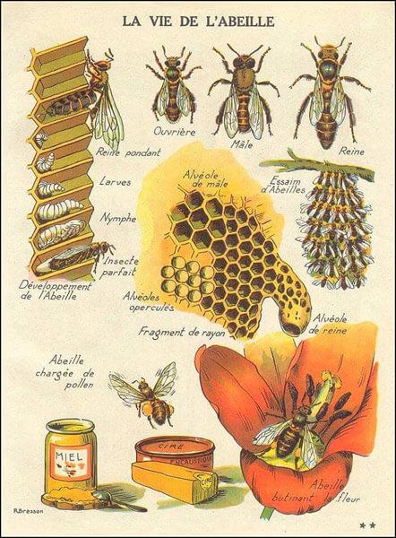 vie de l'abeille